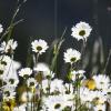 Blumenwiesen Unterleutasch Tirol Austria 09